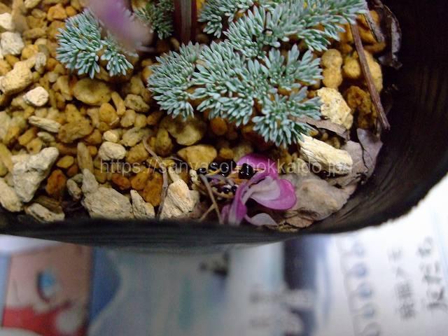 コマクサの種子
