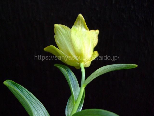 黄花クロユリ(キバナクロユリ)
