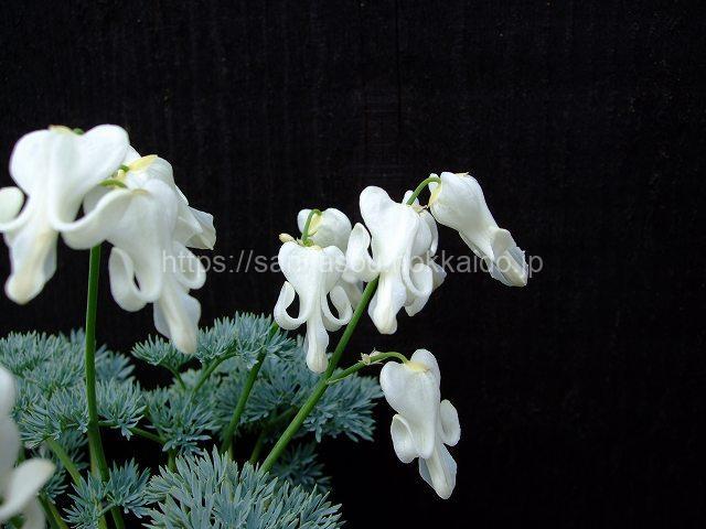 白花コマクサ
