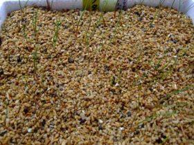 フタナミソウの発芽