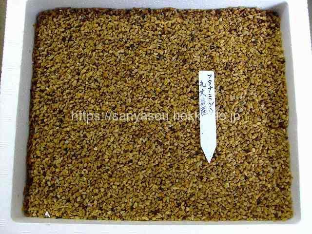 フタナミソウの種まき