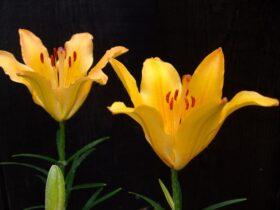 黄花エゾスカシユリ(キバナエゾスカシユリ)