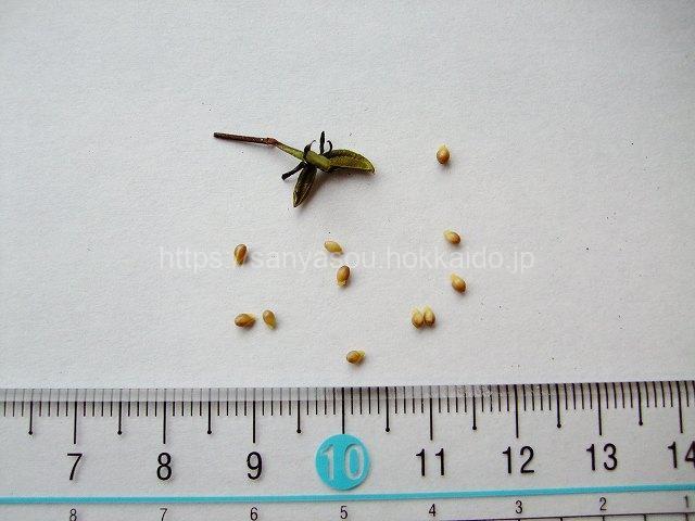 エゾキスミレの種子